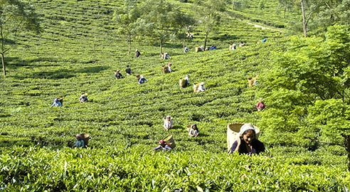 Glenburn Tea Estate highlight