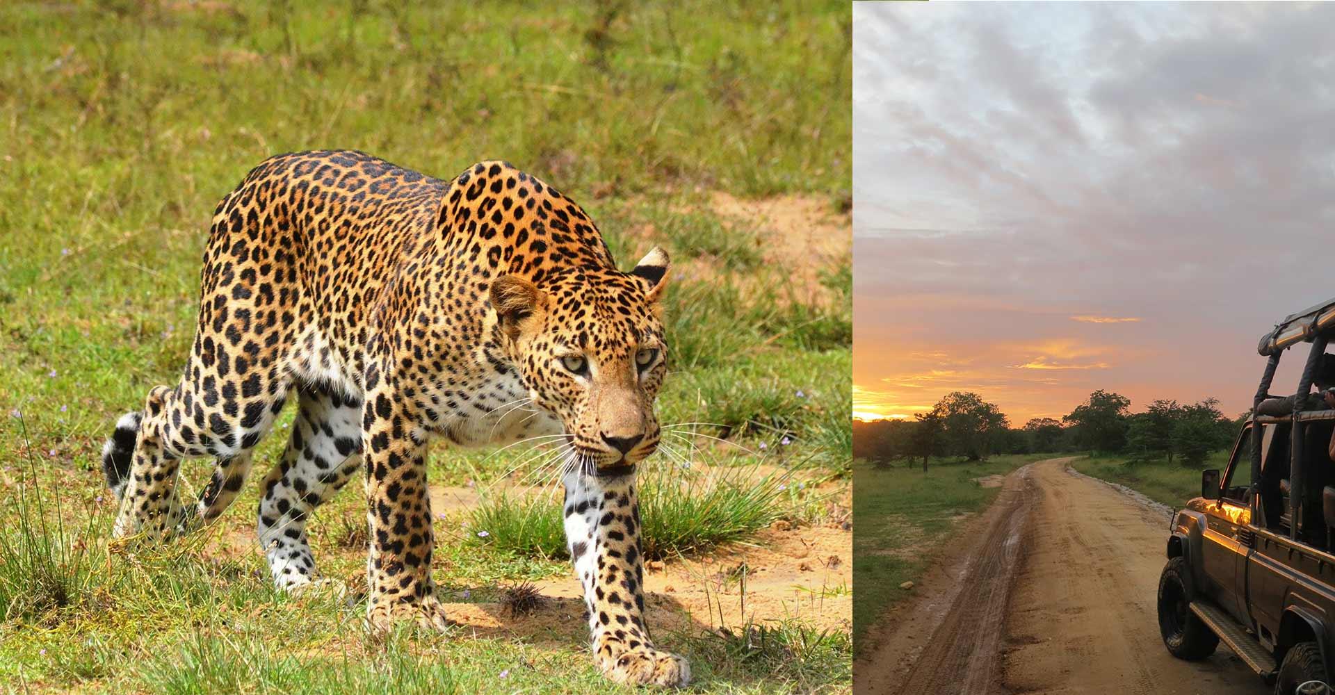 Noel Rodrigo's Leopard Safaris